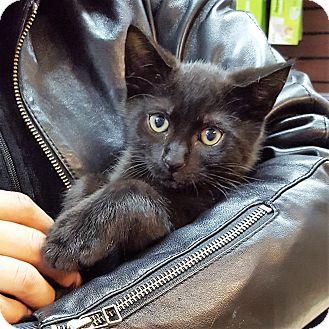 Domestic Shorthair Kitten for adoption in Toronto, Ontario - Lotus