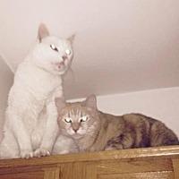 Adopt A Pet :: Simon & Georgie - tucson, AZ