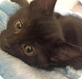 Domestic Shorthair Kitten for adoption in Troy, Michigan - Mudslide