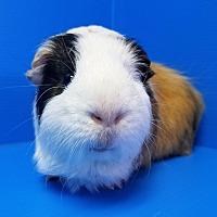 Adopt A Pet :: Mochi - Lewisville, TX