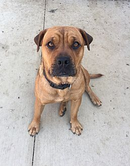 Boxer/Shepherd (Unknown Type) Mix Dog for adoption in Fort Collins, Colorado - Chelsea