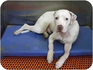 American Bulldog Mix Dog for adoption in Long Beach, New York - Scooter