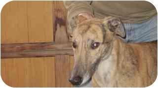 Greyhound Dog for adoption in Gerrardstown, West Virginia - Hooper