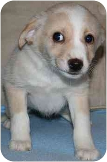 Cattle Dog/Terrier (Unknown Type, Small) Mix Puppy for adoption in House Springs, Missouri - Butter