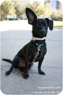 Dachshund/Pomeranian Mix Dog for adoption in Houston, Texas - Zena