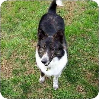 Sheltie, Shetland Sheepdog/Border Collie Mix Dog for adoption in Roebuck, South Carolina - Shep