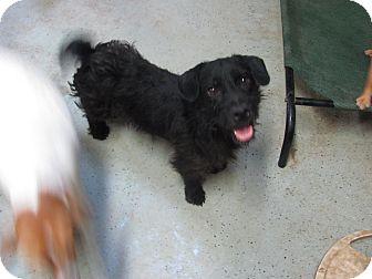 Scottie, Scottish Terrier/Schnauzer (Miniature) Mix Dog for adoption in Hohenwald, Tennessee - Midnight