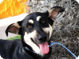 Border Collie Mix Dog for adoption in Long Beach, California - CANDICE