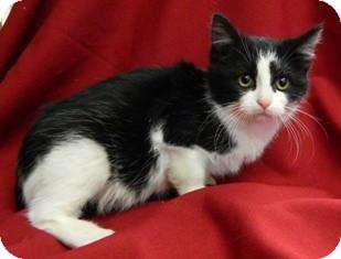 Domestic Shorthair Cat for adoption in Columbus, Nebraska - Erin