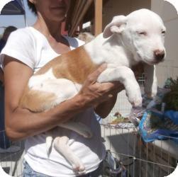 Labrador Retriever Mix Dog for adoption in Anza, California - Lisa's Female Lab