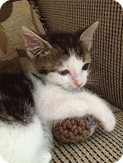 Domestic Shorthair Kitten for adoption in Elmwood Park, New Jersey - Peanut Butter Cup