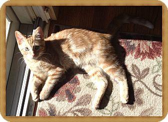 Domestic Shorthair Kitten for adoption in Mt. Prospect, Illinois - Nonny