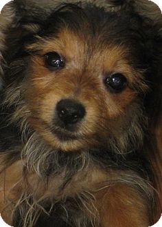 Yorkie, Yorkshire Terrier/Pomeranian Mix Puppy for adoption in Prole, Iowa - Puppies