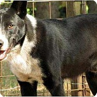 Border Collie Mix Dog for adoption in Orlando, Florida - Brighton