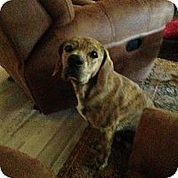 Adopt A Pet :: dog - Scottsdale, AZ
