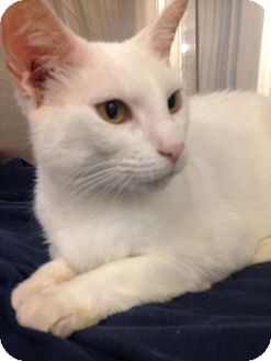 Domestic Shorthair Cat for adoption in Jacksonville, Florida - Snowy