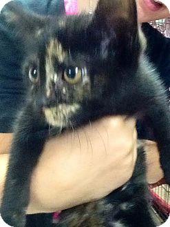 Domestic Shorthair Kitten for adoption in Webster, Massachusetts - Chelsea