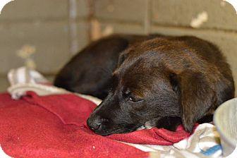 Labrador Retriever Mix Puppy for adoption in Henderson, North Carolina - Scarlett