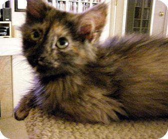 Domestic Mediumhair Cat for adoption in Chandler, Arizona - Muffin