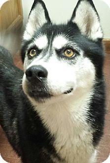 Husky Dog for adoption in Wimberley, Texas - Shiraz