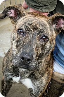 Boxer/Great Dane Mix Dog for adoption in Anderson, Indiana - Valentine