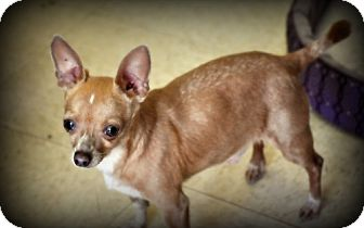 Chihuahua Dog for adoption in Orland, California - Chieecho