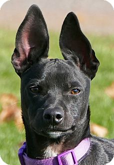 Whippet/Labrador Retriever Mix Puppy for adoption in Pennigton, New Jersey - Rocky