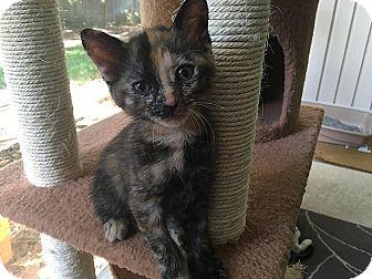 Domestic Shorthair Kitten for adoption in Tampa, Florida - Ottie