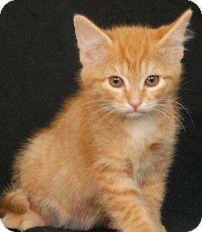 Domestic Shorthair Kitten for adoption in Newland, North Carolina - Chanel