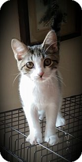 Domestic Mediumhair Kitten for adoption in Fairborn, Ohio - Nolan