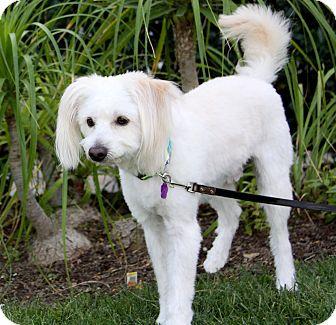 Poodle (Miniature)/Maltese Mix Dog for adoption in Newport Beach, California - NEVILLE