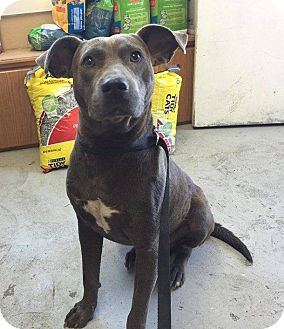 Labrador Retriever/American Bulldog Mix Dog for adoption in Lewisburg, Tennessee - Razorback