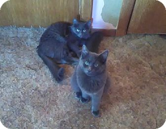 Russian Blue Kitten for adoption in Montgomery, Illinois - The Blues Brothers