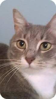 Domestic Shorthair Cat for adoption in Concord, North Carolina - Roxie
