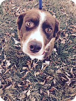 Border Collie Mix Dog for adoption in Cardwell, Montana - Romeo