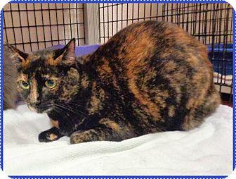 Domestic Shorthair Cat for adoption in Marietta, Georgia - IZZY (R)