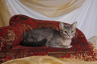 Domestic Shorthair Kitten for adoption in mishawaka, Indiana - JIll