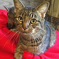 American Shorthair Cat for adoption in Kingwood, Texas - Layla