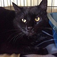 Domestic Shorthair Cat for adoption in Breinigsville, Pennsylvania - Brandi