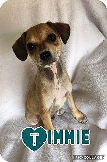 Chihuahua Mix Puppy for adoption in Mesa, Arizona - TIMMIE 8 WEEK CHIHUAHUA MIX