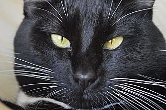 Domestic Shorthair Cat for adoption in Fryeburg, Maine - Roo