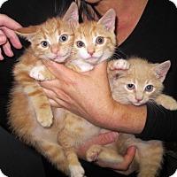 Domestic Shorthair Kitten for adoption in Brooklyn, New York - 3 Little Orange Kittens