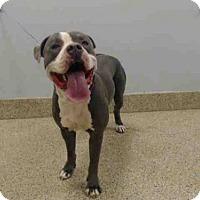 American Bulldog Dog for adoption in Miami, Florida - LOLO