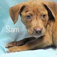 Adopt A Pet :: Sam - Palatine/Kildeer/Buffalo Grove, IL
