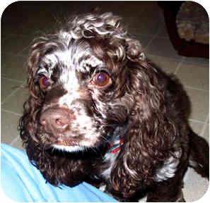 Cocker Spaniel Dog for adoption in Cincinnati, Ohio - Lady