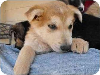 Delwen | Adopted Puppy | Pittsburg, KS | Siberian Husky ...