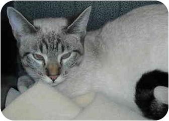 Siamese Kitten for adoption in North Highlands, California - Catrina