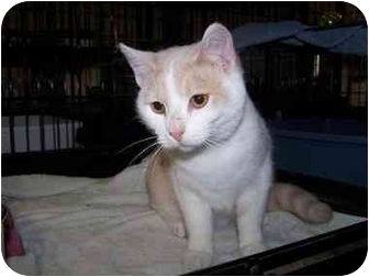Domestic Shorthair Cat for adoption in Shelbyville, Kentucky - Graham