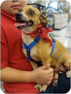 Chihuahua Mix Dog for adoption in San Dimas, California - Cinnamon