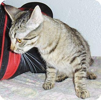 Bengal Cat for adoption in Chandler, Arizona - Leah